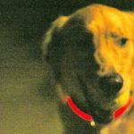 Golden Retriever mit rotem LED Leuchtring um Hals