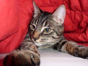 Katze liegt unter Bettdecke