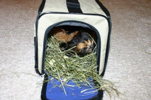 Meerschweinchen sitzt in Kleintiertransportbox