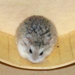 Hamster sitzt auf Laufrad