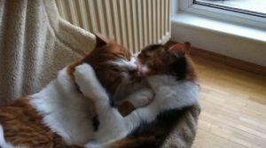 2 Katzen lecken sich ab