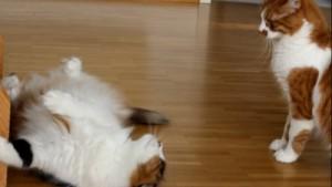 Katze liegt am Boden und schaut andere Katze an. Die Katze ist in Kampfeslaune! Katzensprache