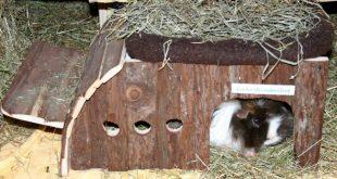 Meerschweinchen sitzt in Nagerhaus