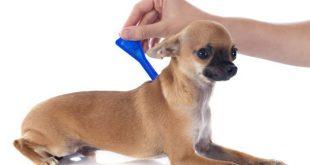 Hund wir mit Spot On gegen Hundeflöhe behandelt