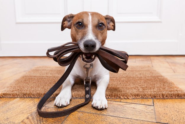Hund mit Hundeleine im Maul