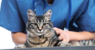 Katze wird beim Tierarzt auf Schuppen untersucht