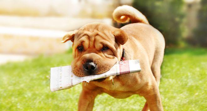 Hund apportiert Zeitung