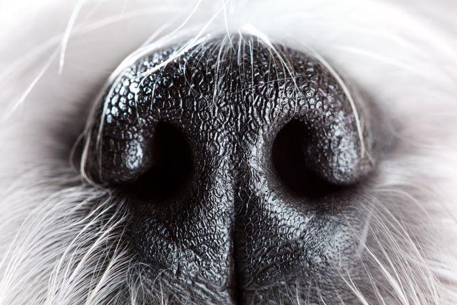 Hundenase Closeup