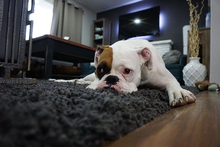 Bulldogge liegt im Wohnzimmer