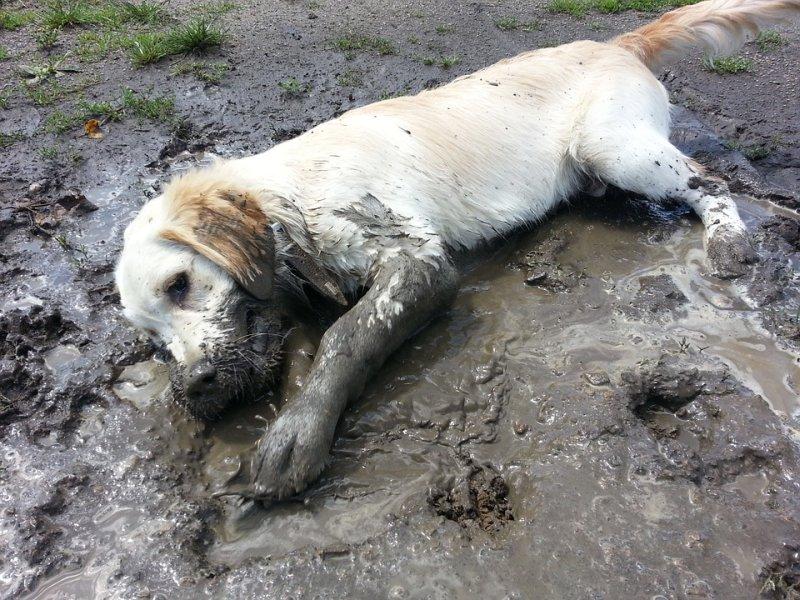 Hund wälzt sich im Matsch