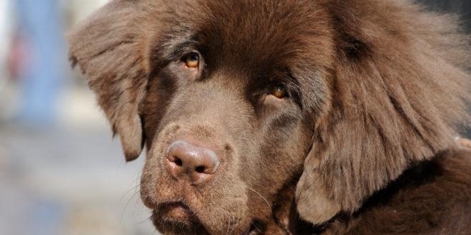 Neufundländer zählen zu den stark haarenden Hunderassen