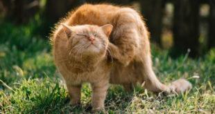 Katzenflohmittel