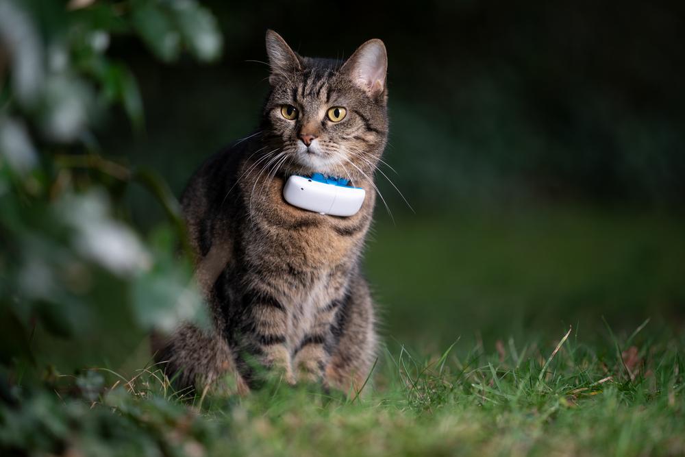 Getigerte Katze mit GPS Tracker am Hals
